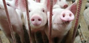 Nueva pandemia mundial: una gripe mortal que viene de los cerdos chinos