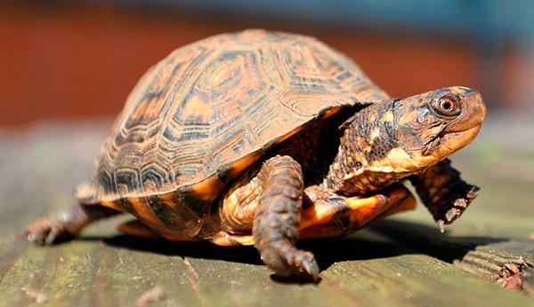 Atendida una mujer en urgencias tras localizar una tortuga en el interior de su vagina