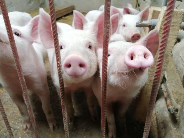 cerdos gripe, cerdos virus