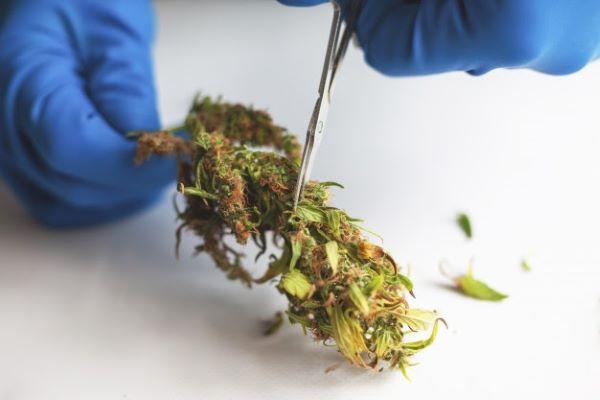 cogollos cannabis marihuana guantes